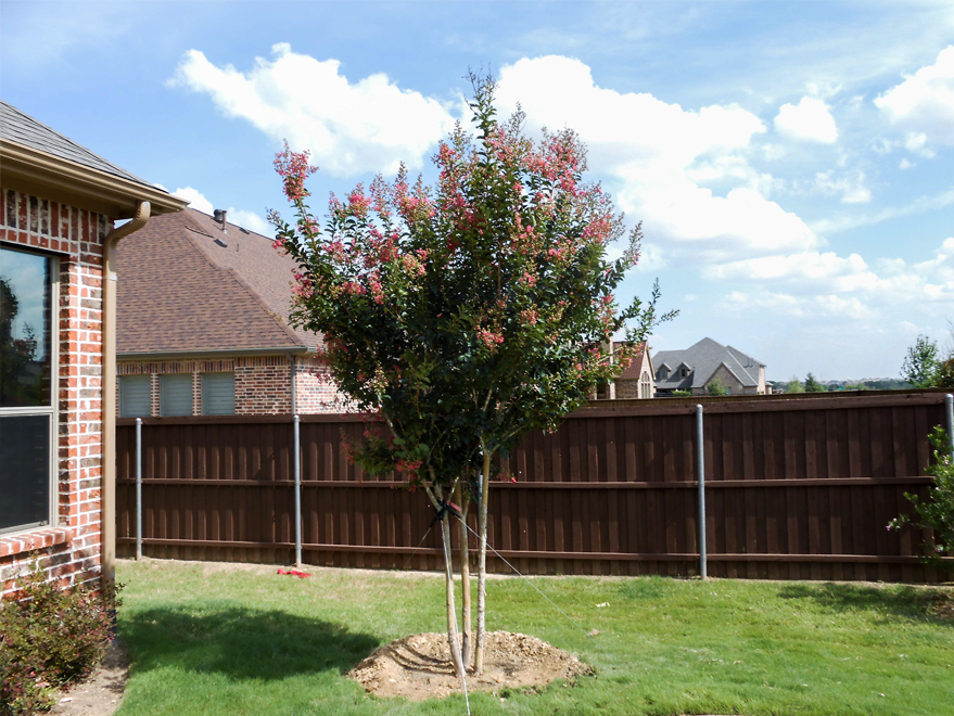 Tuscarora Crape Myrtle tree planted in a backyard by Treeland Nursery. Flowering trees installed in North Texas landscapes.