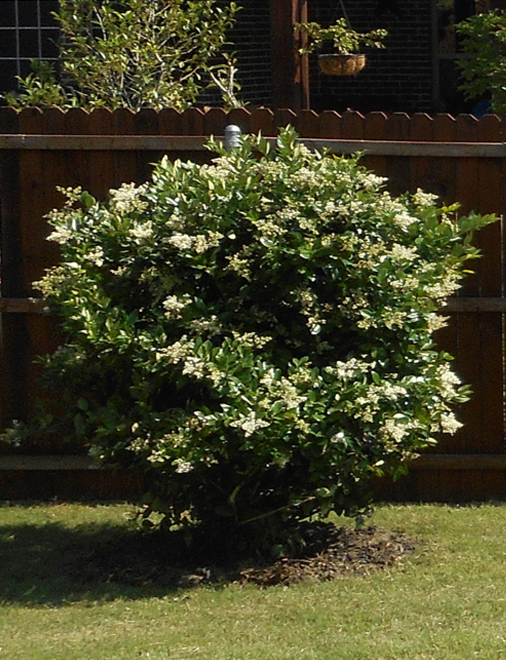 Wax Leaf Ligustrum with Spring Flowers. Planted in a backyard flowerbed along a fence by Treeland Nursery.