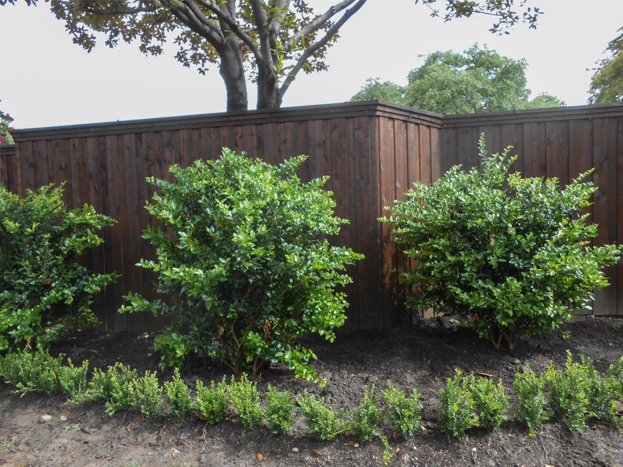 Wax Leaf Ligustrums planted in a backyard flowerbed along a fence. Planted and installed by Treeland Nursery.