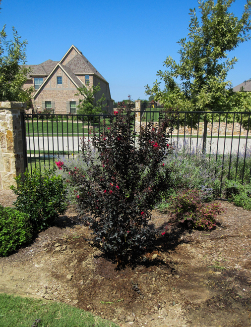 Black Diamond Crape Myrtle planted in Dallas, Texas by Treeland Nursery.