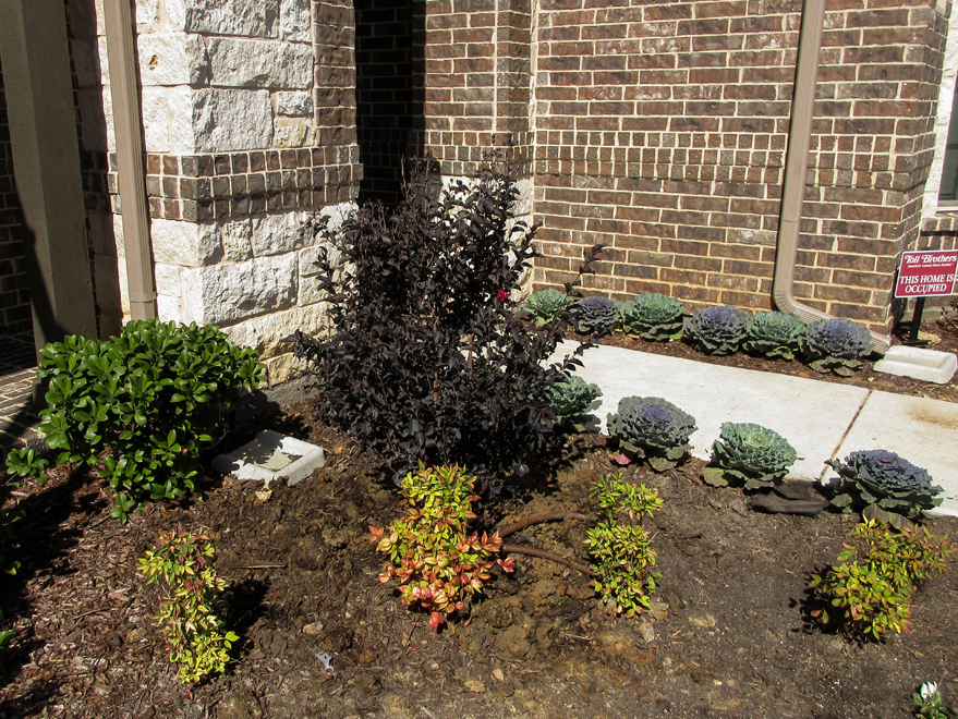 Black Diamond Crape Myrtle planted in a flowerbed in a frontyard. Planted by Treeland Nursery.