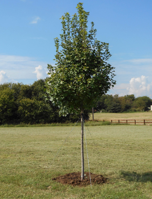 Brandywine Maple Tree installed and planted by Treeland Nursery.