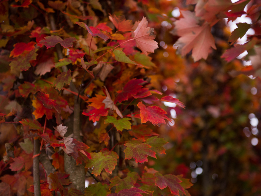 Brandywine Maple leaves right as they begin to turn fall colors. Photographed by Treeland Nursery.