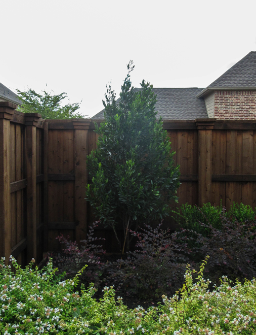 Cherry Laurel Tree planted as a privacy screen and surrouned by beautiful landscaping and installed by Treeland Nursery.