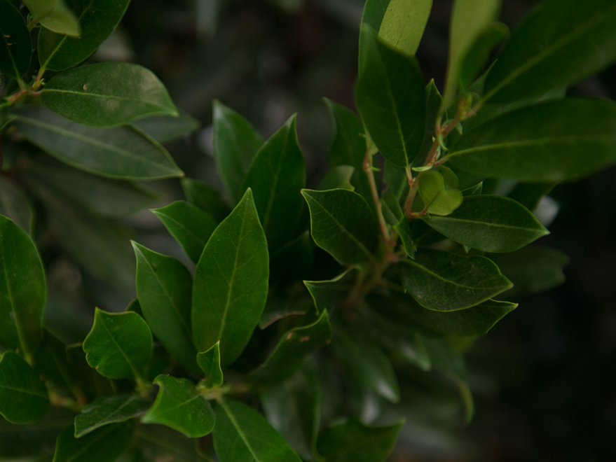 Beautiful dark green glossy leaves on a Cherry Laurel Tree. Photographed at our tree farm north of Dallas, Texas by Treeland Nursery.
