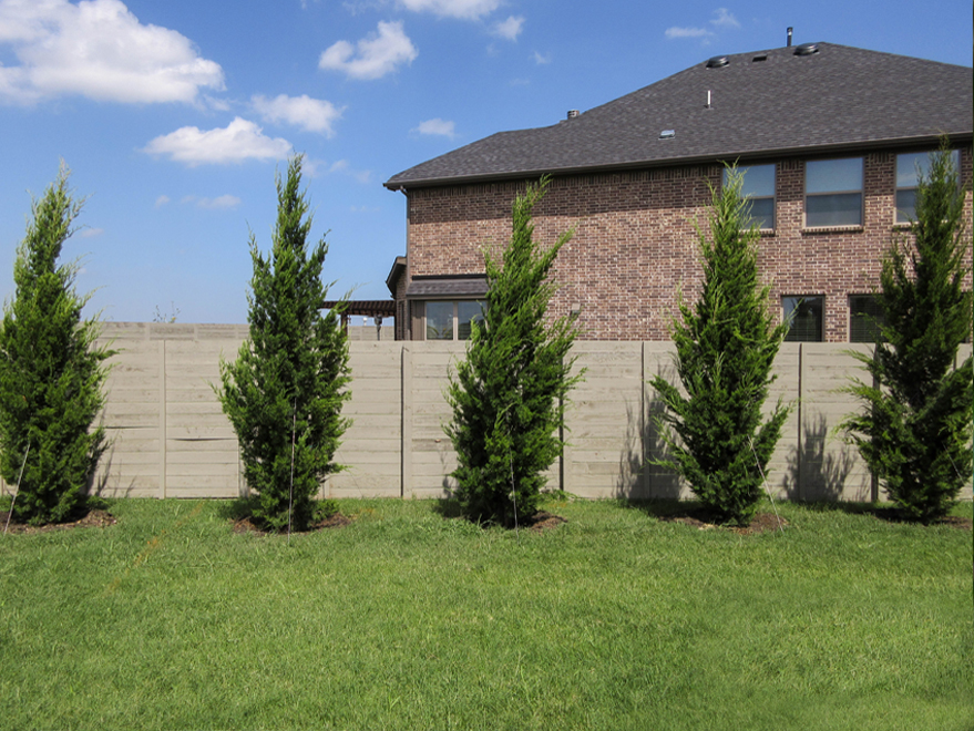 A row of Brodie Eastern Red Cedars planted by Treeland Nursery to create a privacy screen.