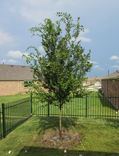 Lacebark Elm Tree planted in a backyard for shade by Treeland Nursery.