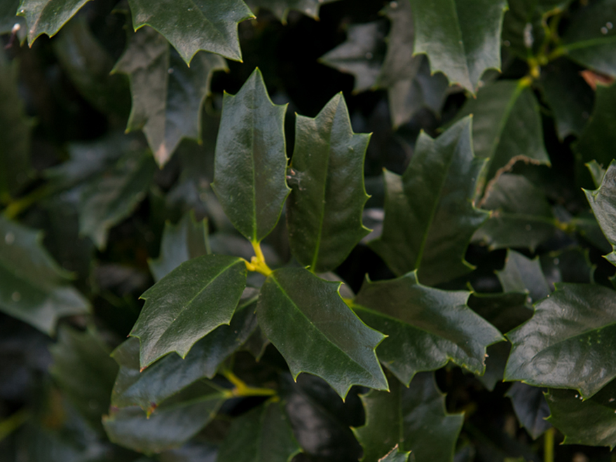 Oak Leaf Holly leaf detail. Photographed by Treeland Nursery. Top evergreen trees for North Texas.