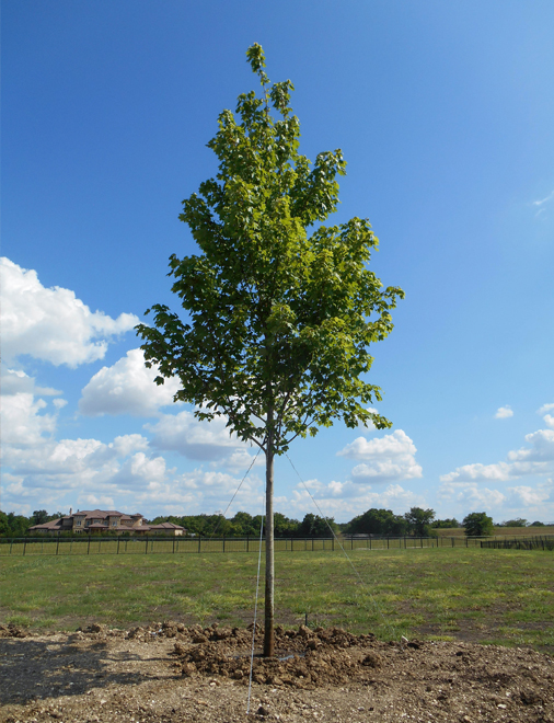 Large October Glory Maple planted by Treeland Nursery in Southlake, Texas. Large shade trees for sale in Dallas, Texas.