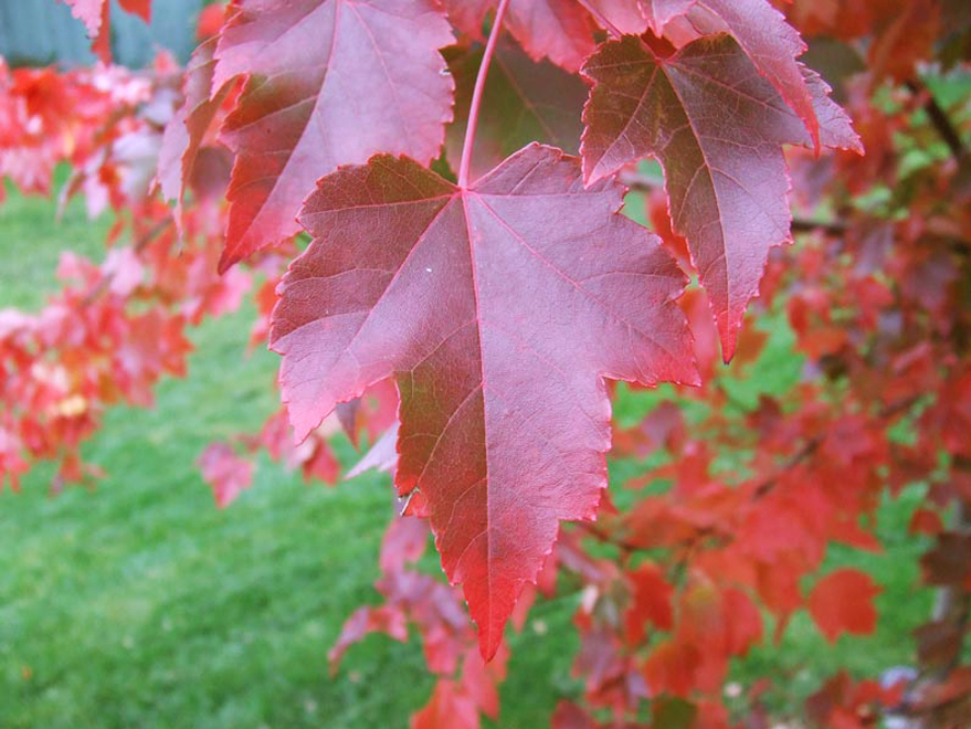 October Glory Maple leaf detail with Fall color. Shades trees for sale at Dallas, Texas tree farms.