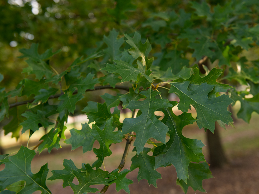 Dark green shumard red oak tree leaves. Picture taken at our tree farm at Treeland Nursery.