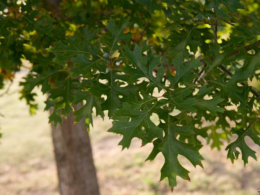 Red Oak tree leaf detail. Photographed by Treeland Nursery.