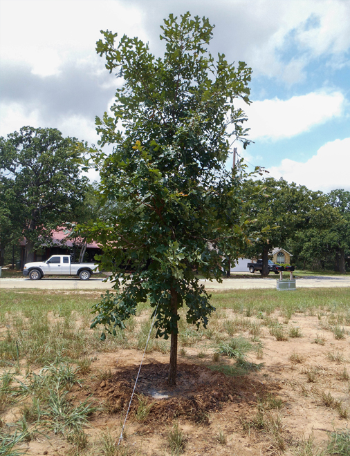 Bur Oak Tree planted by Treeland Nursery in Denton, Texas.