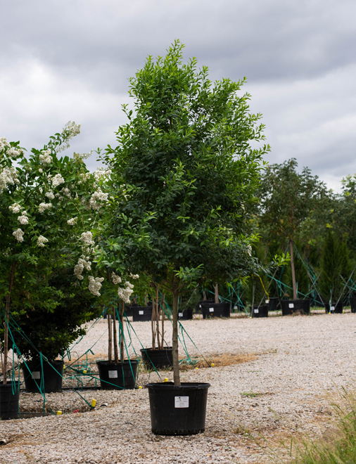 Tree Form Eagleston Holly Tree with lots of new growth and a thick canopy which is perfect for privacy screens. Photography by Treeland Nursery.