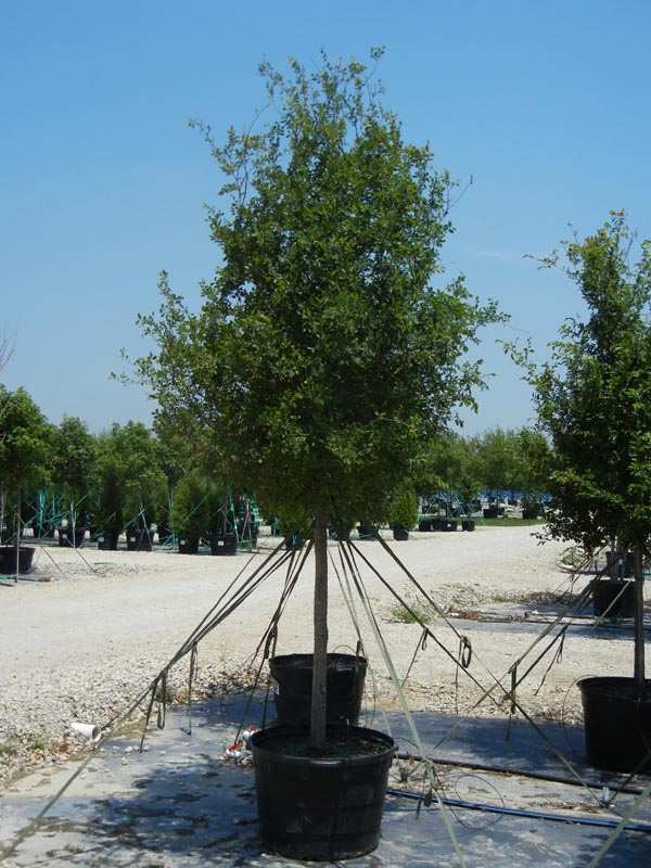 Cedar Elm tree in a container at our tree farm north of Dallas, Texas. Photography by Treeland Nursery.