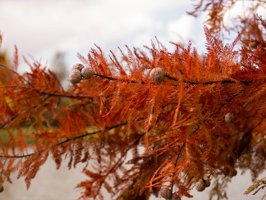 Bald Cypress trees have a bronze to red fall color. Photographed at our tree farm by Treeland Nursery.