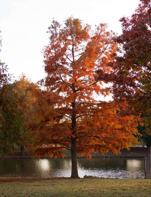 Mature Bald Cypress trees with fall color. Photographed at the Tree Farm in front of the office by Treeland Nursery.
