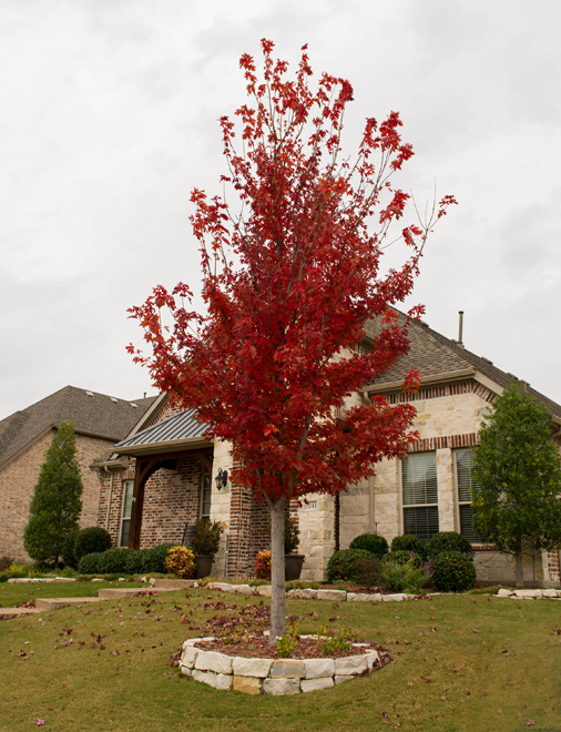 Maturing Brandywine Maple found with beautiful fall color in Prosper, Texas. Photographed by Treeland Nursery.
