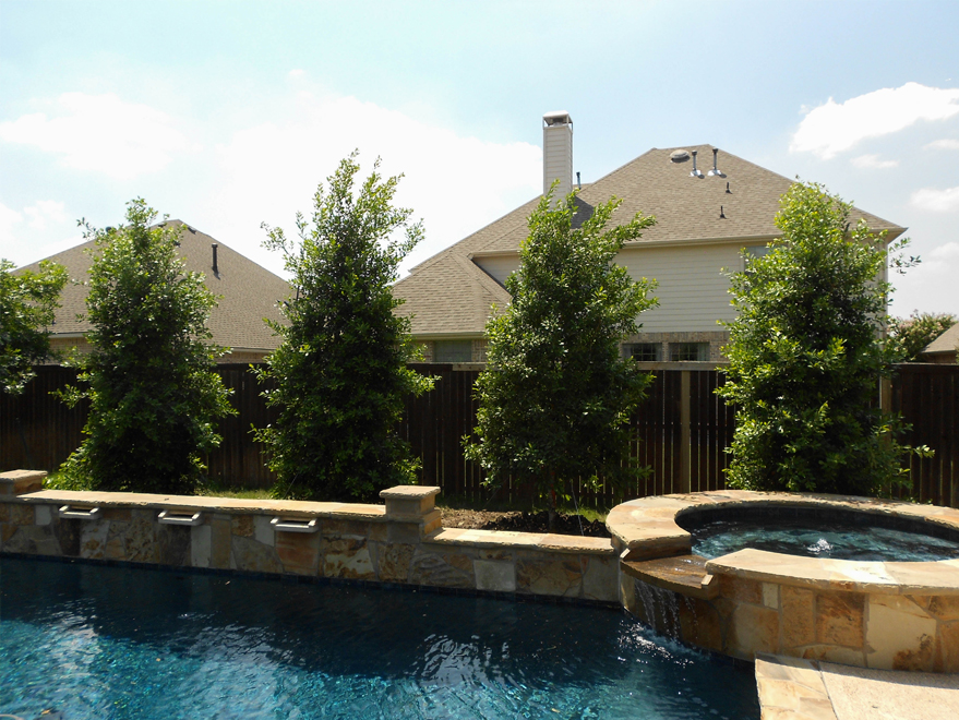 Eagleston Holly trees planted behind a pool to servce as a privacy screen by Treeland Nursery.