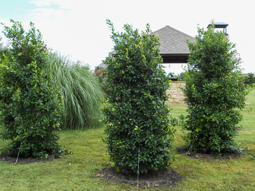 Full to the ground Eagleston Holly trees planted in a window formation to create a privacy screen. Planted and installed by Treeland Nursery.