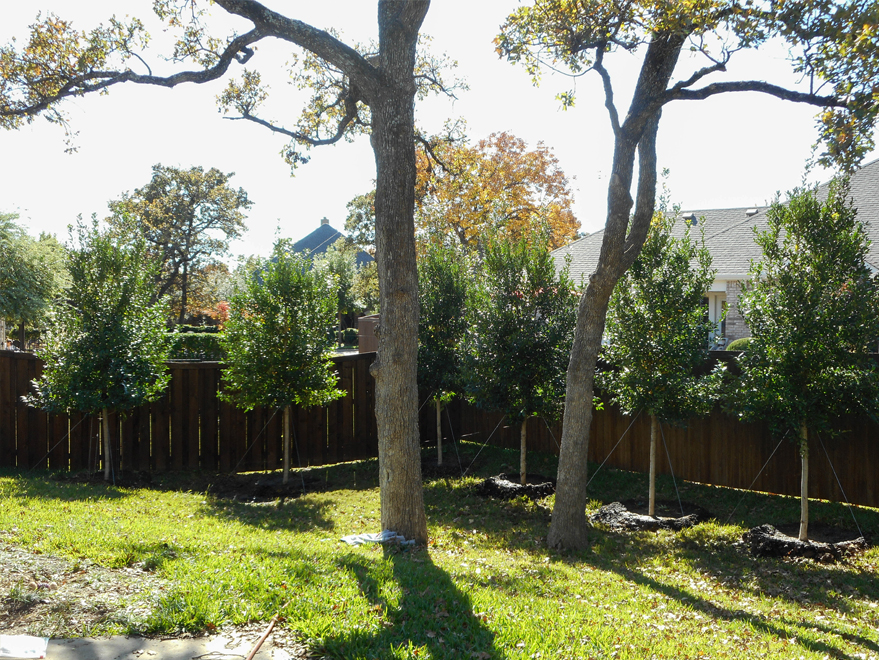 Tree Form Eagleston Holly Trees installed in a backyard for privacy screening in Argyle, Texas by Treeland Nursery.
