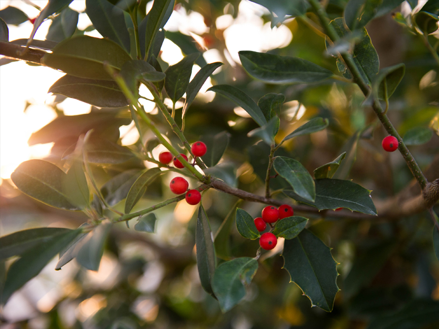 Eagleston Holly Tree producing bright red berries in the winter. Photographed at our tree farm north of Dallas, Texas by Treeland Nursery.