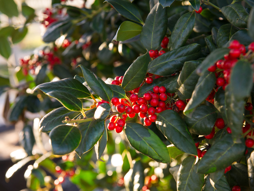 Nellie R Stevens Holly leaf and berry detail. Photographed by Treeland Nursery. Privacy screening landscaping in Dallas, Texas.