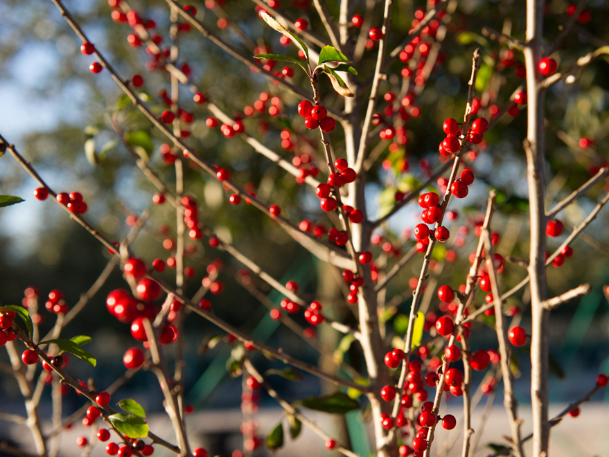 Possumhaw Holly planted by Treeland Nursery in North, Texas. Fall interest plants landscapes in Dallas, Texas.