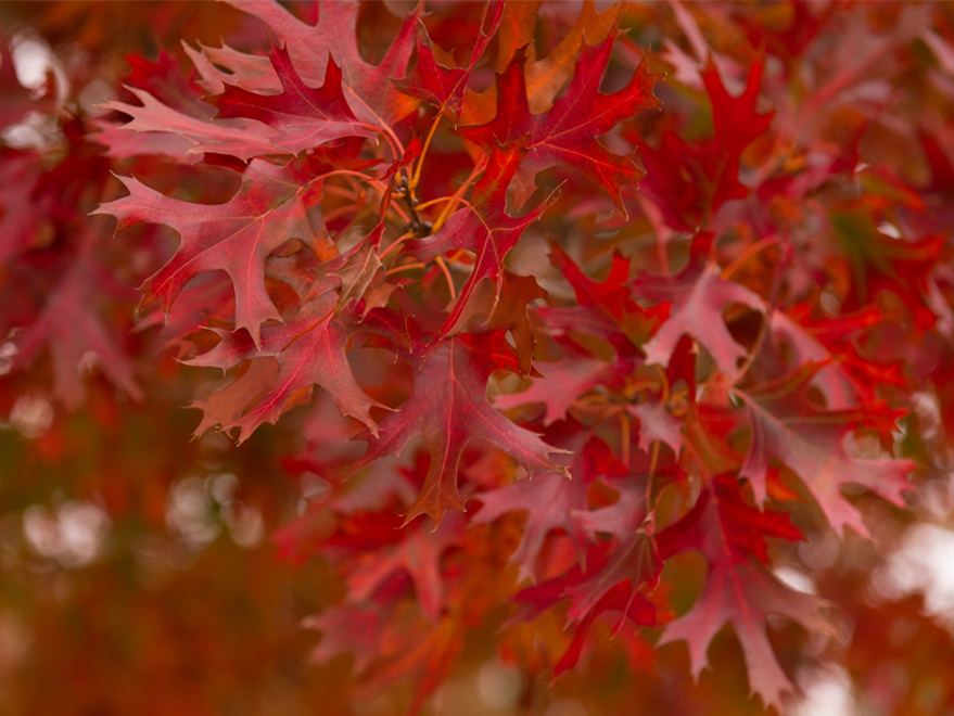 Red Oak tree with leaves that have bright red fall color. Photographed by Treeland Nursery at our tree farm north of Dallas, Texas.