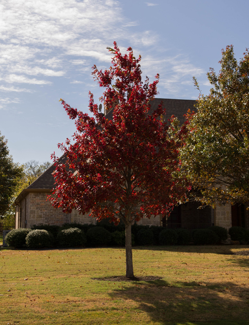 Maturing Red Oak tree found in Celina, Texas during the Fall. Photographed by Treeland Nursery for inspiration and to show the varieties of Fall color on Red Oak trees.