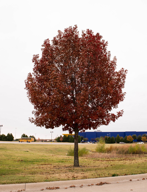 Maturing Red Oak tree found in Frisco, Texas during the Fall. Photographed by Treeland Nursery for inspiration and to show the varieties of Fall color on Red Oak trees.