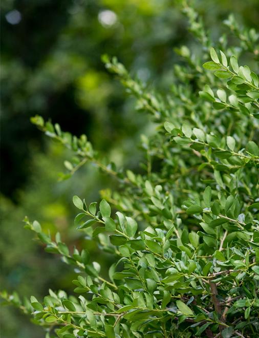 yaupon holly dallas texas treeland nursery