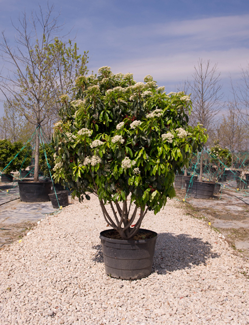 Chinese Photinia Image