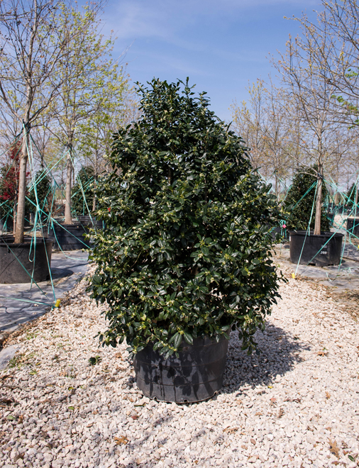 Nellie R Stevens Holly in a container. Privacy screen trees used in North Texas landscapes.