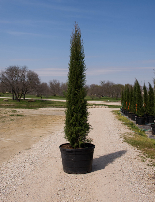 Taylor eastern red cedar dallas texas treeland nursery