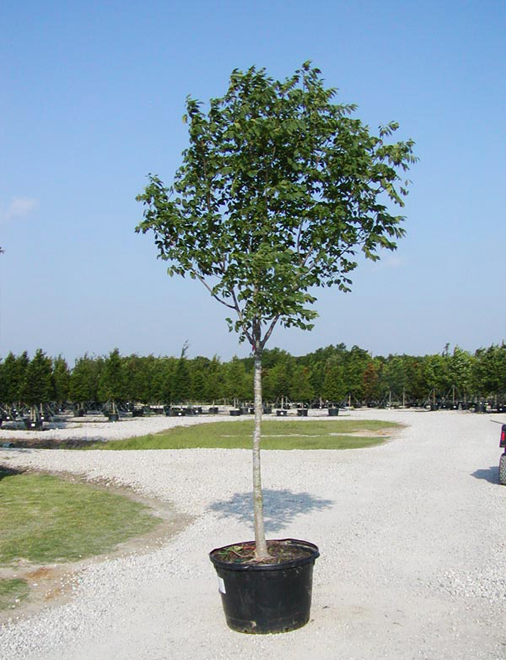 Texas Ash Tree in a container at our tree farm north of Dallas, Texas. Photography by Treeland Nursery.