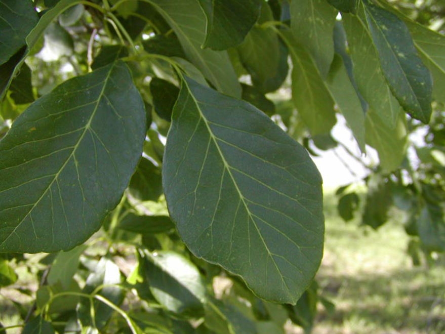 Texas Ash Trees have large rounded leaves detail. Photographed at our tree farm by Treeland Nursery.