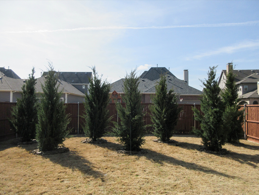 Eastern Red Cedar 'Brodie' trees planted in window form to create a privacy screen once mature. Trees planted and installed by Treeland Nursery.