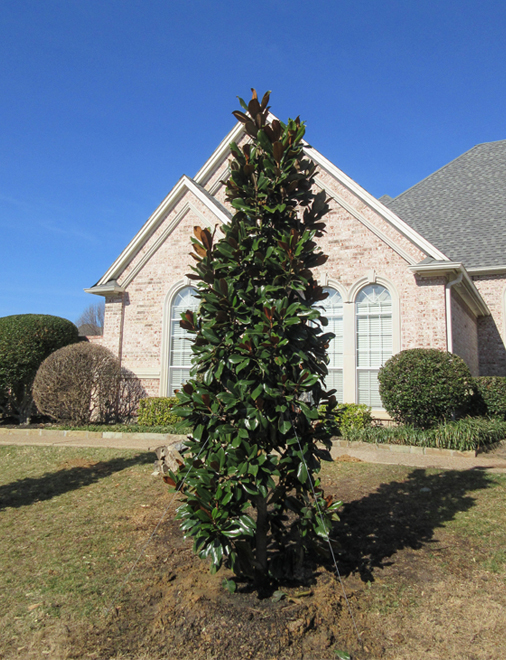 DD Blanchard Magnolia evergreen tree planted in a frontyard in Frisco, Texas by Treeland Nursery.