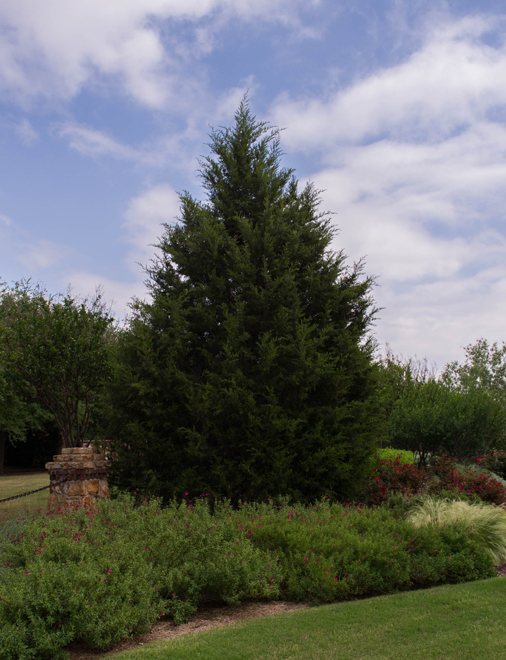 Mature Eastern Red Cedar. Photographed in Frisco, Texas by Treeland Nursery.