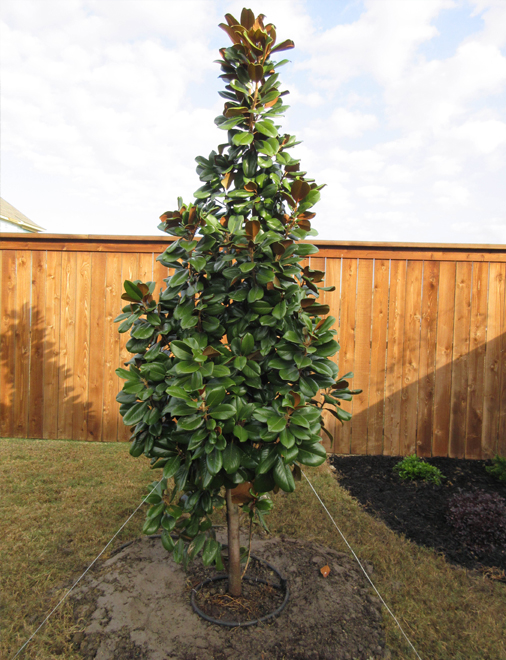 Teddy Bear Magnolia planted and installed in a backyard by Treeland Nursery. Evergreen trees for Southlake, Texas landscapes.