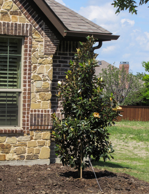 Little Gem Magnolia tree as an accent tree on the side of a house in Plano, Texas by Treeland Nursery.