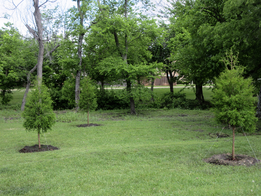 A grouping of Bald Cypress trees planted in front of a creek by Treeland Nursery.