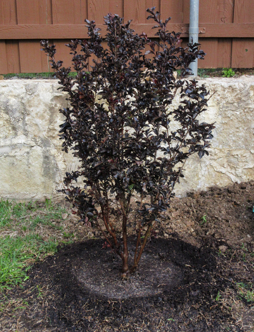 Black Diamond Crape Myrtle planted in a flowerbed by Treeland Nursery.
