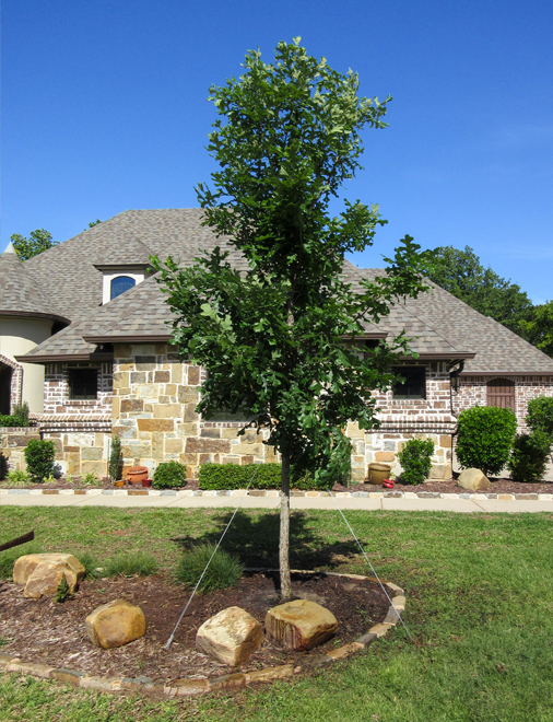 Bur Oak tree planted in a frontyard flowerbed in Frisco, Texas by Treeland Nursery.