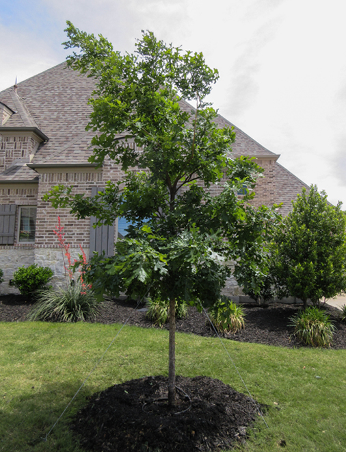 Bur Oak tree planted in a frontyard and surrounded by beautiful landscaping by Treeland Nursery in North Texas.