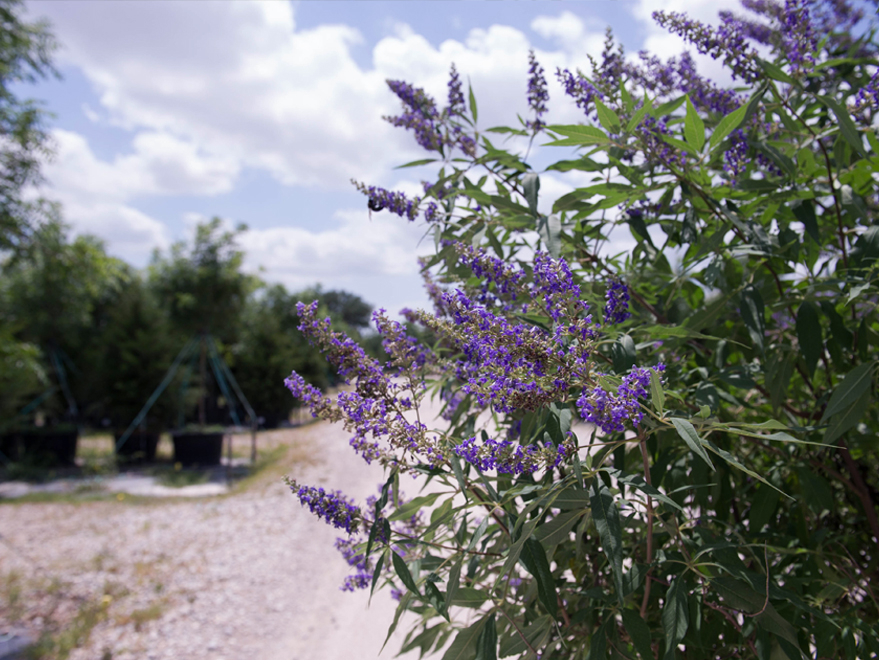 Vitex Delta Blues produce dark purple flowers with contrasting dark green leaves. Photographed by Treeland Nursery.