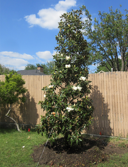 Little Gem Magnolia planted in Frisco, Texas by Treeland Nursery.