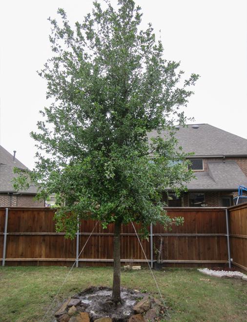 Beautiful evergreen Live Oak tree installed in Prosper, Texas by Treeland Nursery.