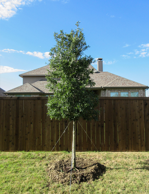 Live Oak Tree installed as a privacy screen in a backyard by Treeland Nursery.